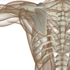 image of bones, joints, muscles